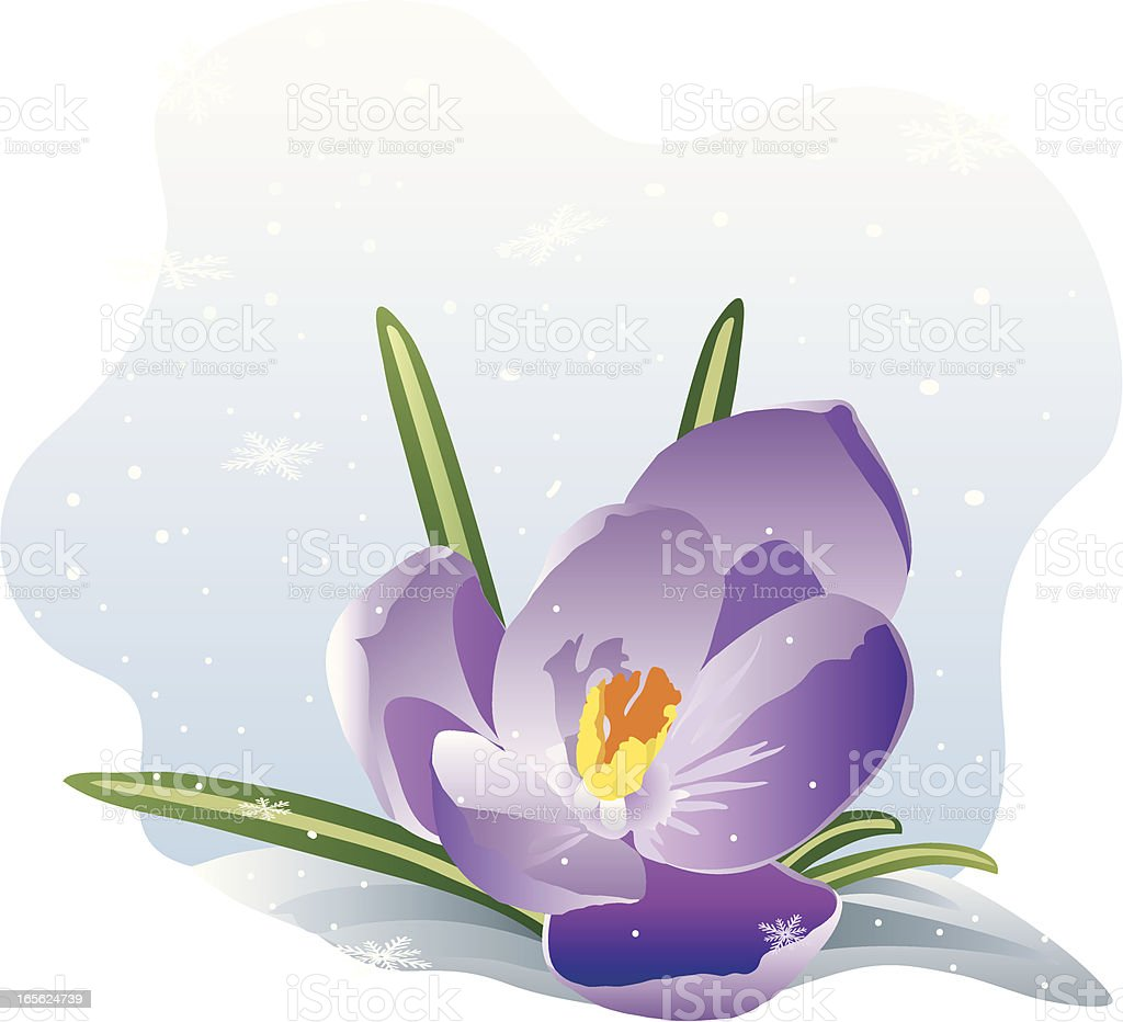 Crocus in Snow vector art illustration