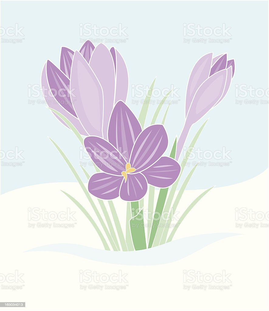 Crocus vector art illustration