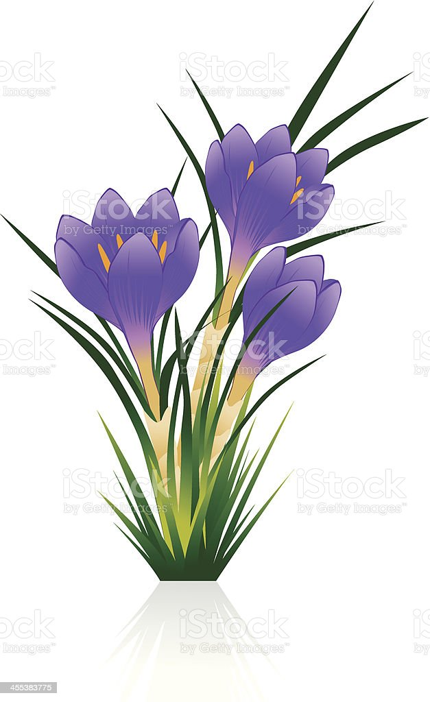 Crocus royalty-free stock vector art