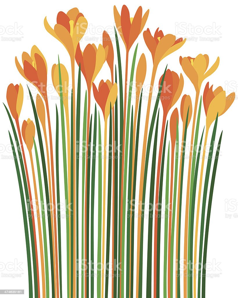 Crocuses fire-coloured spring flowers vector art illustration