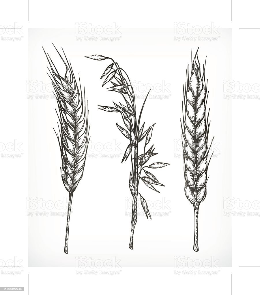 Crops, wheat and oat sketches vector art illustration