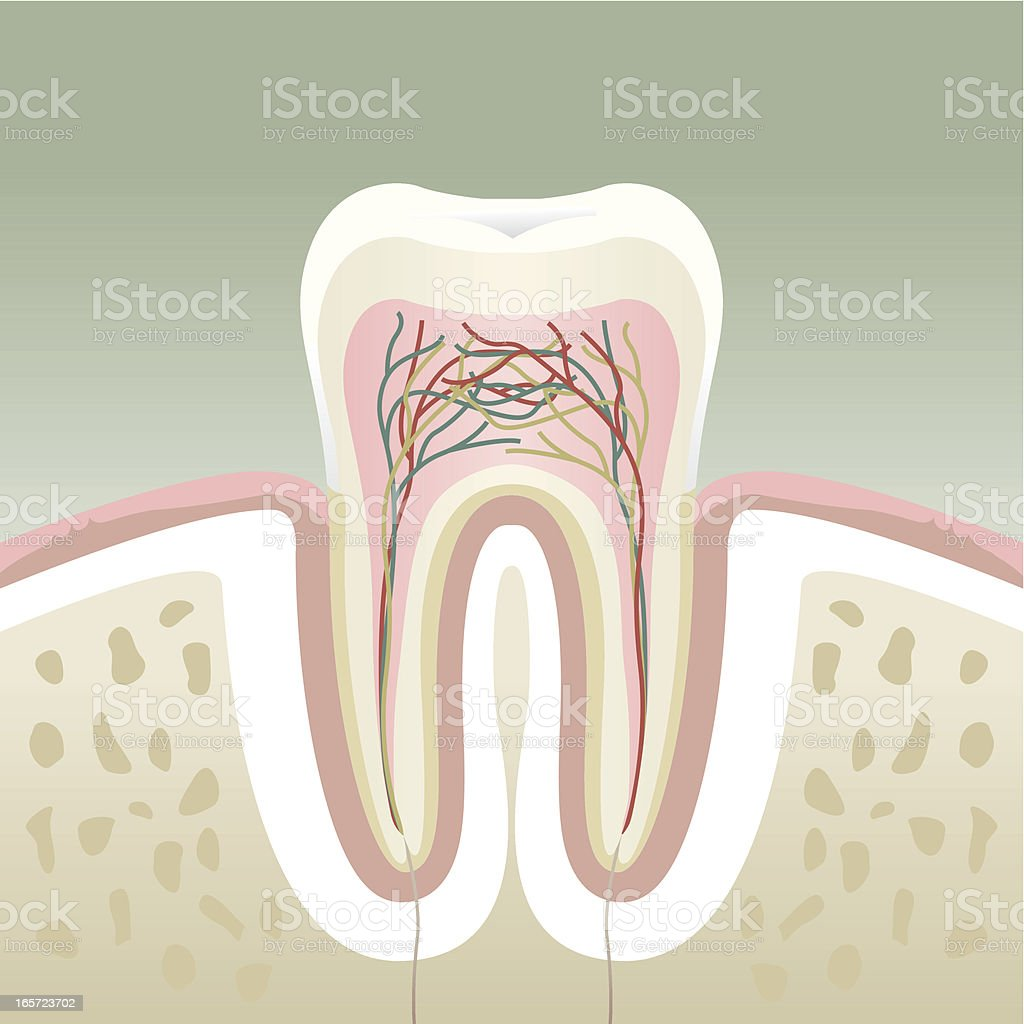 A cross section of a molar tooth vector art illustration