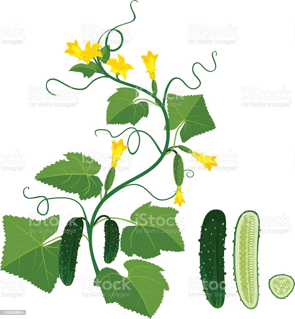 Cucumbers growing on vines vector art illustration