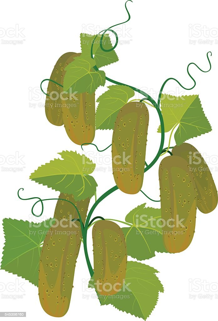 Cucumbers growing on vines vector art illustration