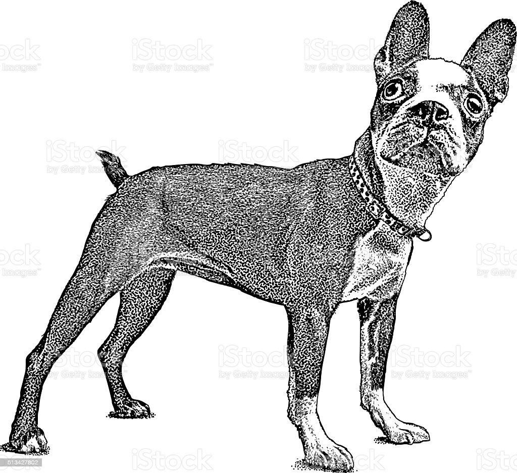 Cute Boston Terrier vector art illustration