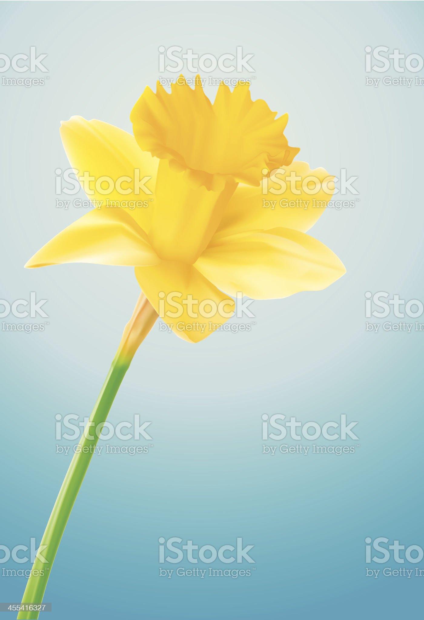 Daffodil - Vector Illustration royalty-free stock vector art
