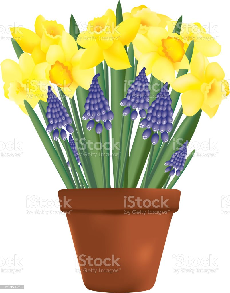 Daffodils, grape hyacinth and clay pot vector art illustration