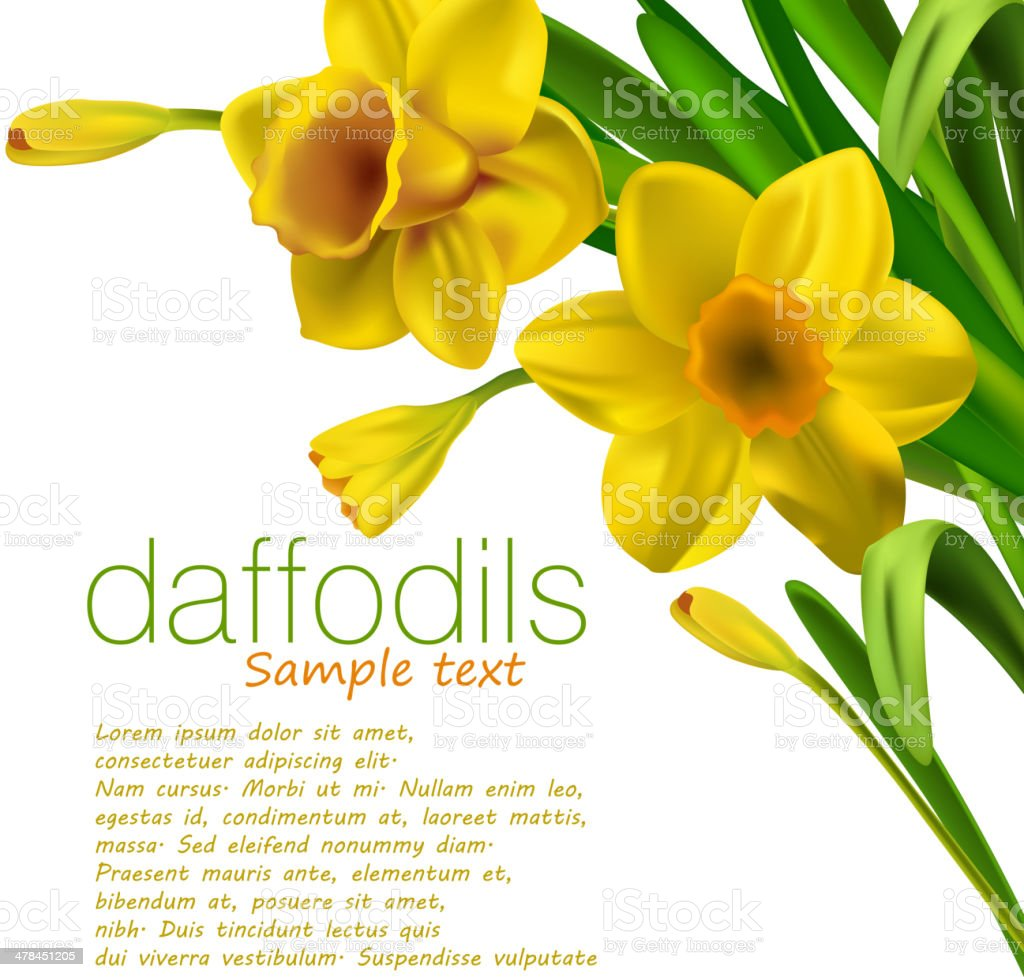 Daffodils isolated on white vector art illustration