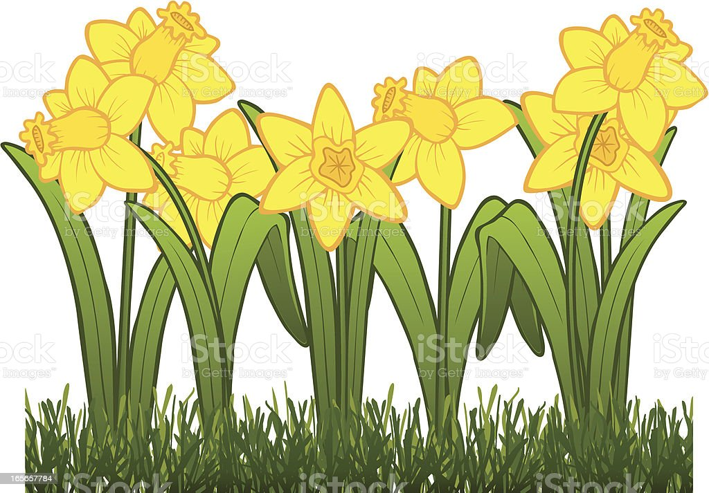 Daffodils royalty-free stock vector art