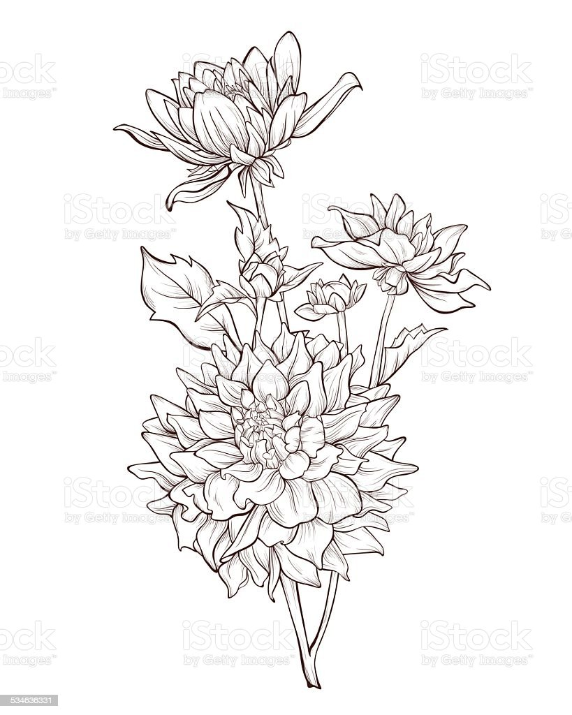 Dahlia Flower Line Drawing : Dahlia flowers vintage hand drawing background with