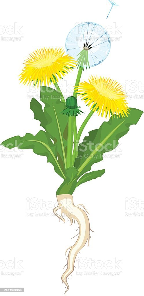 Dandelion flowers on white background vector art illustration