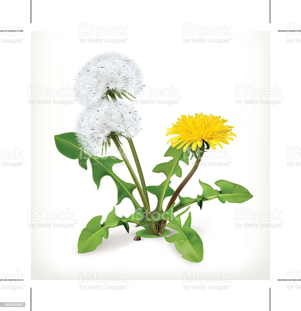 Dandelion flowers, vector icon vector art illustration