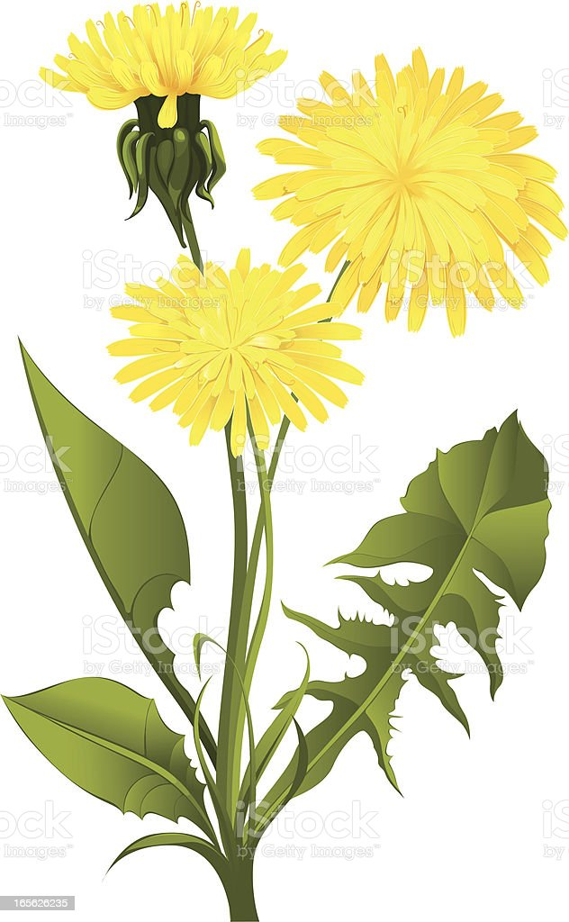 Dandelion isolated on white vector art illustration