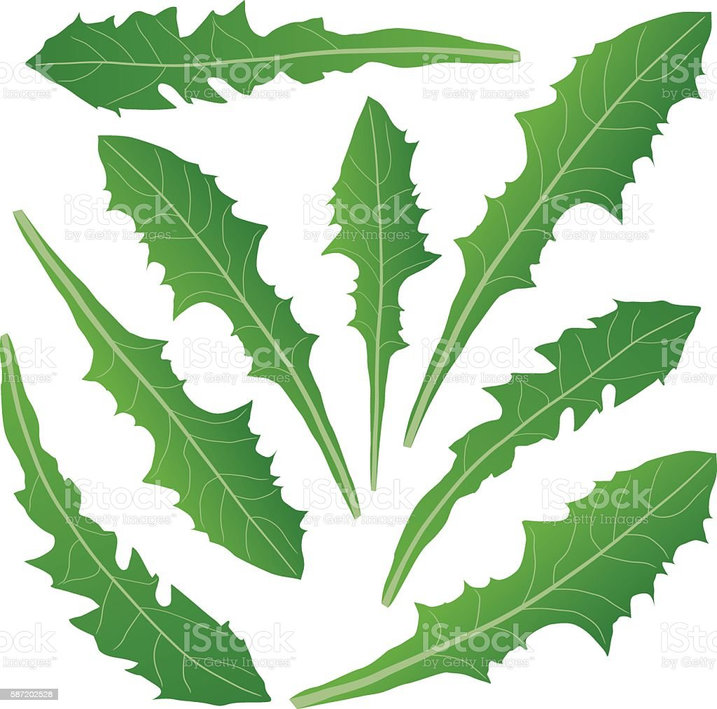 dandelion leaves green vector art illustration