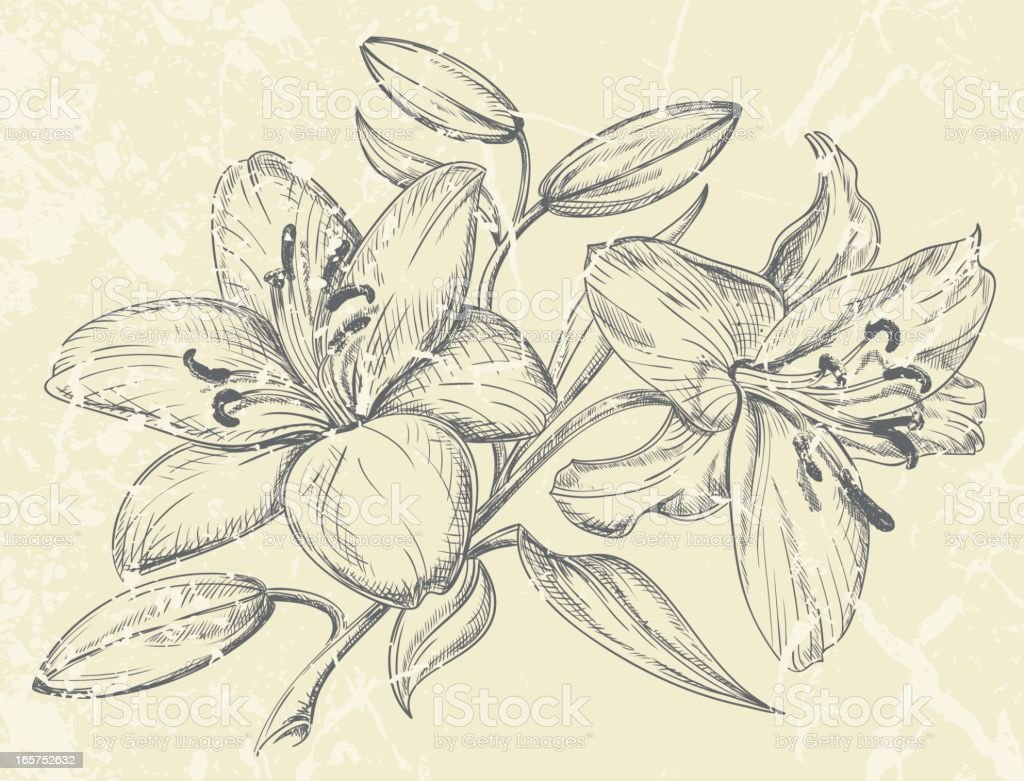 Day Lilies Drawing vector art illustration
