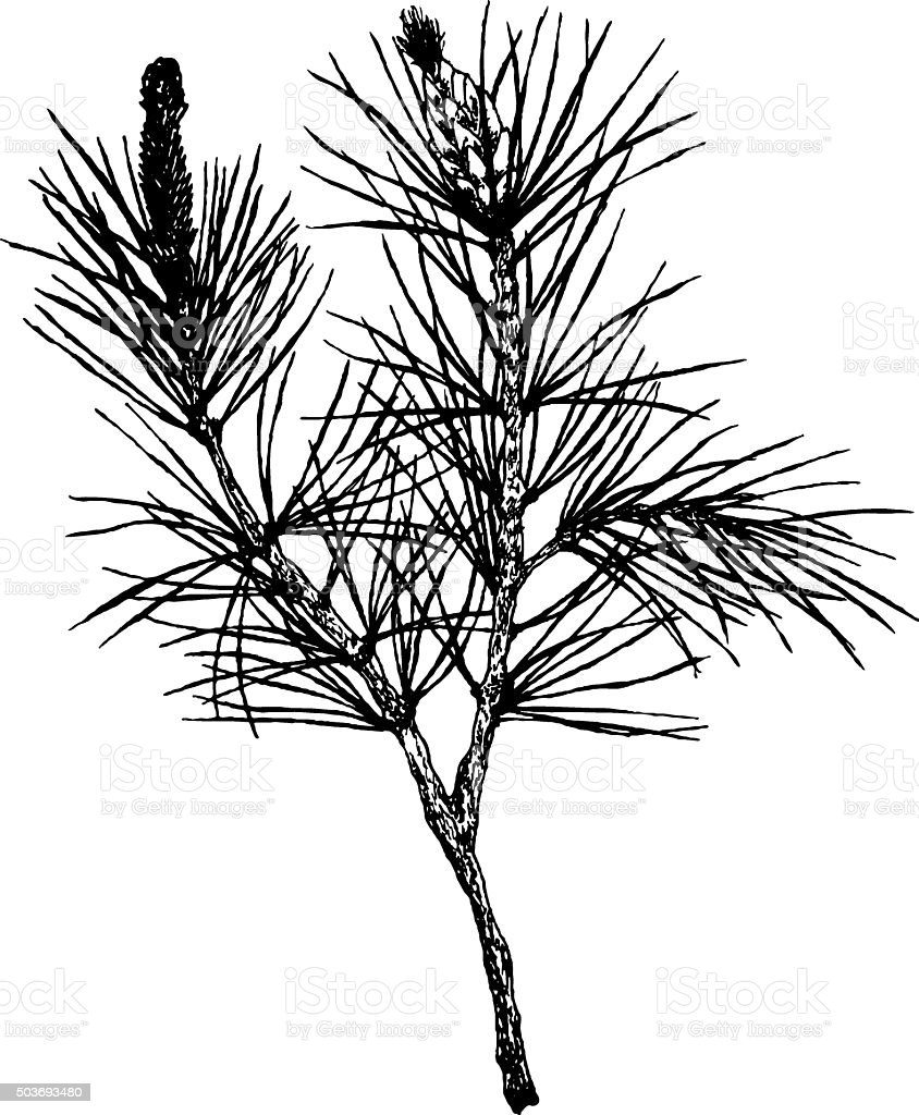 decorative silhouette hand drawn pine branch vector art illustration