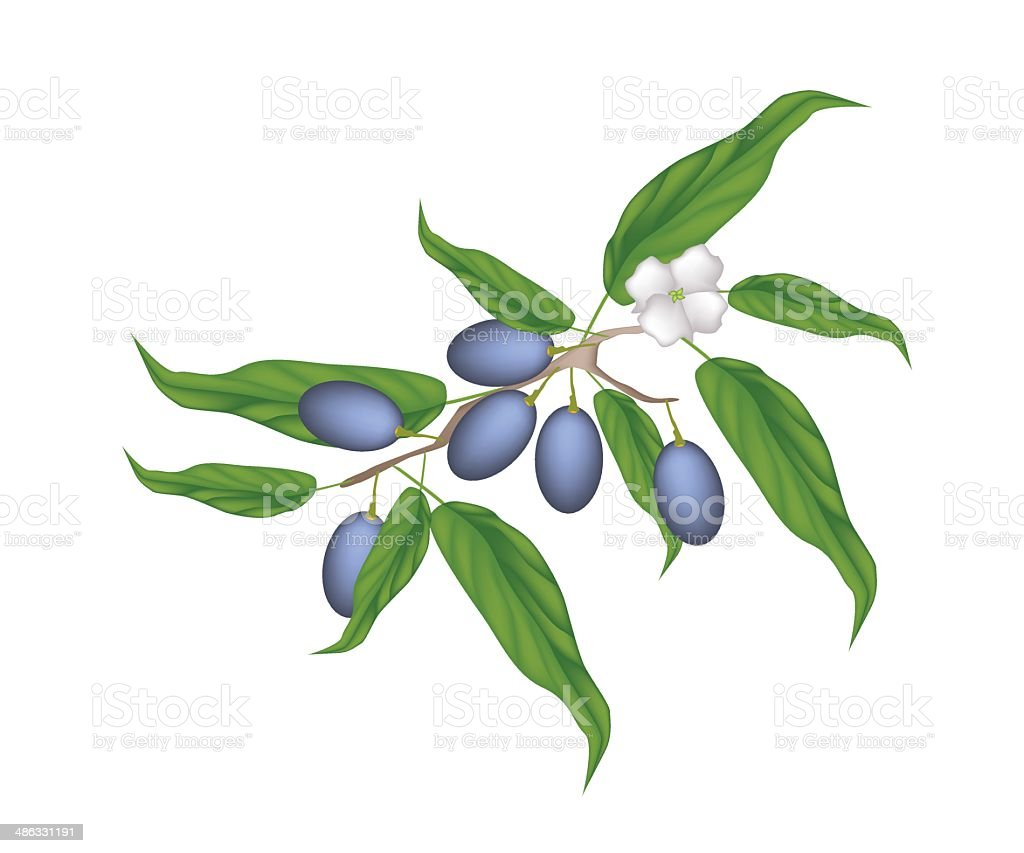 Delicious Fresh Chinese Olives on A Branch royalty-free stock vector art