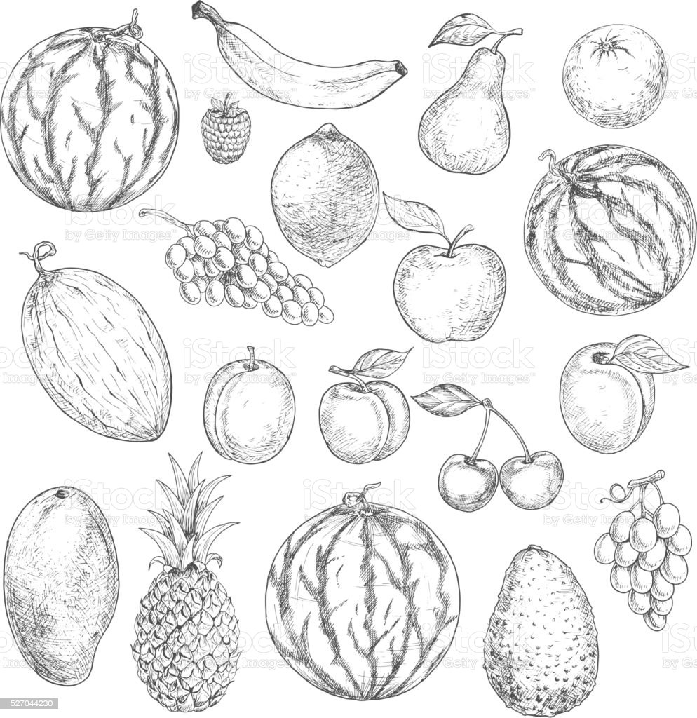 Delicious fresh harvested summer fruits sketches vector art illustration