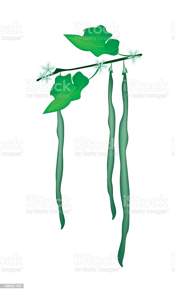 Delicious Fresh Snake Gourds on A Plant royalty-free stock vector art