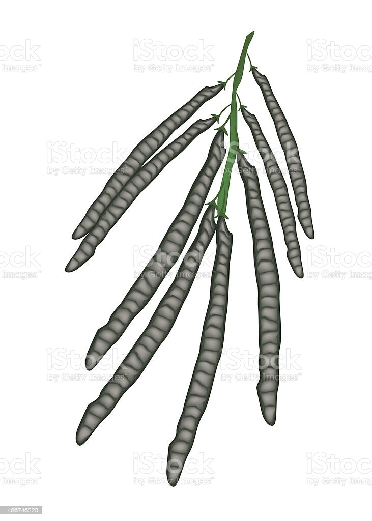 Delicious Ripe Mung Beans on A Twig royalty-free stock vector art
