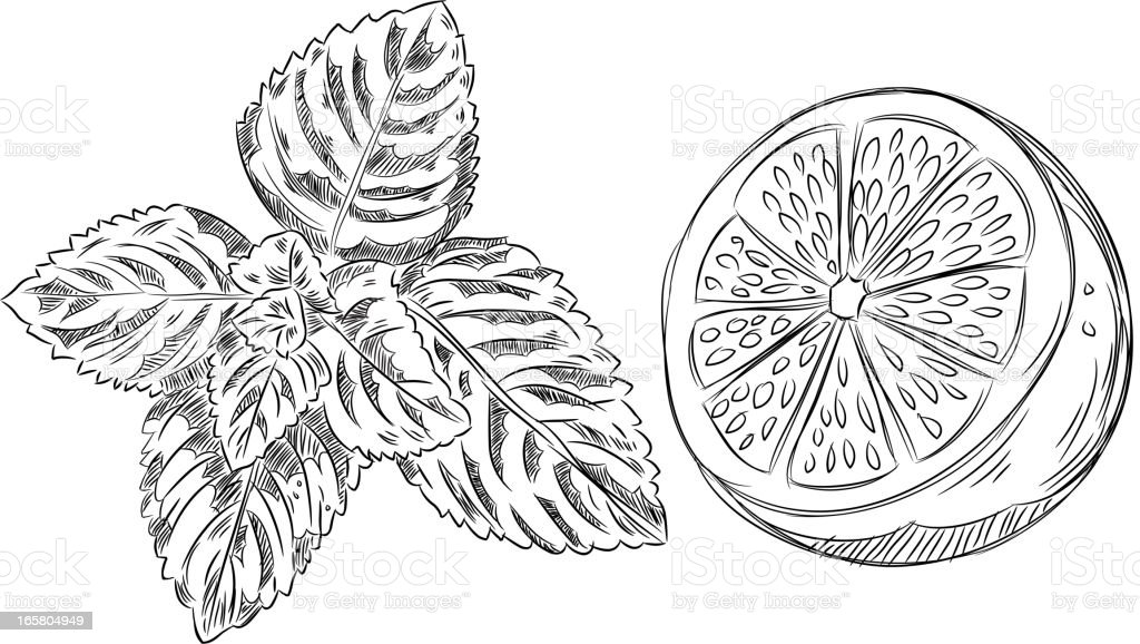 Detailed Drawings of Mint and Lemon vector art illustration