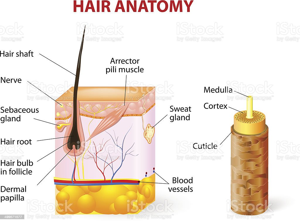 Diagram of a hair follicle in a cross section of skin layers vector art illustration