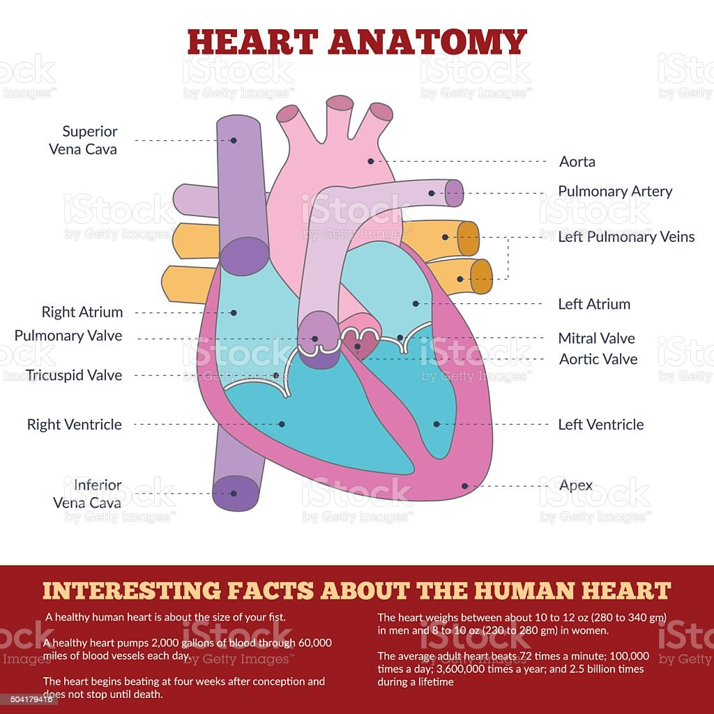 Diagram of human heart anatomy vector art illustration
