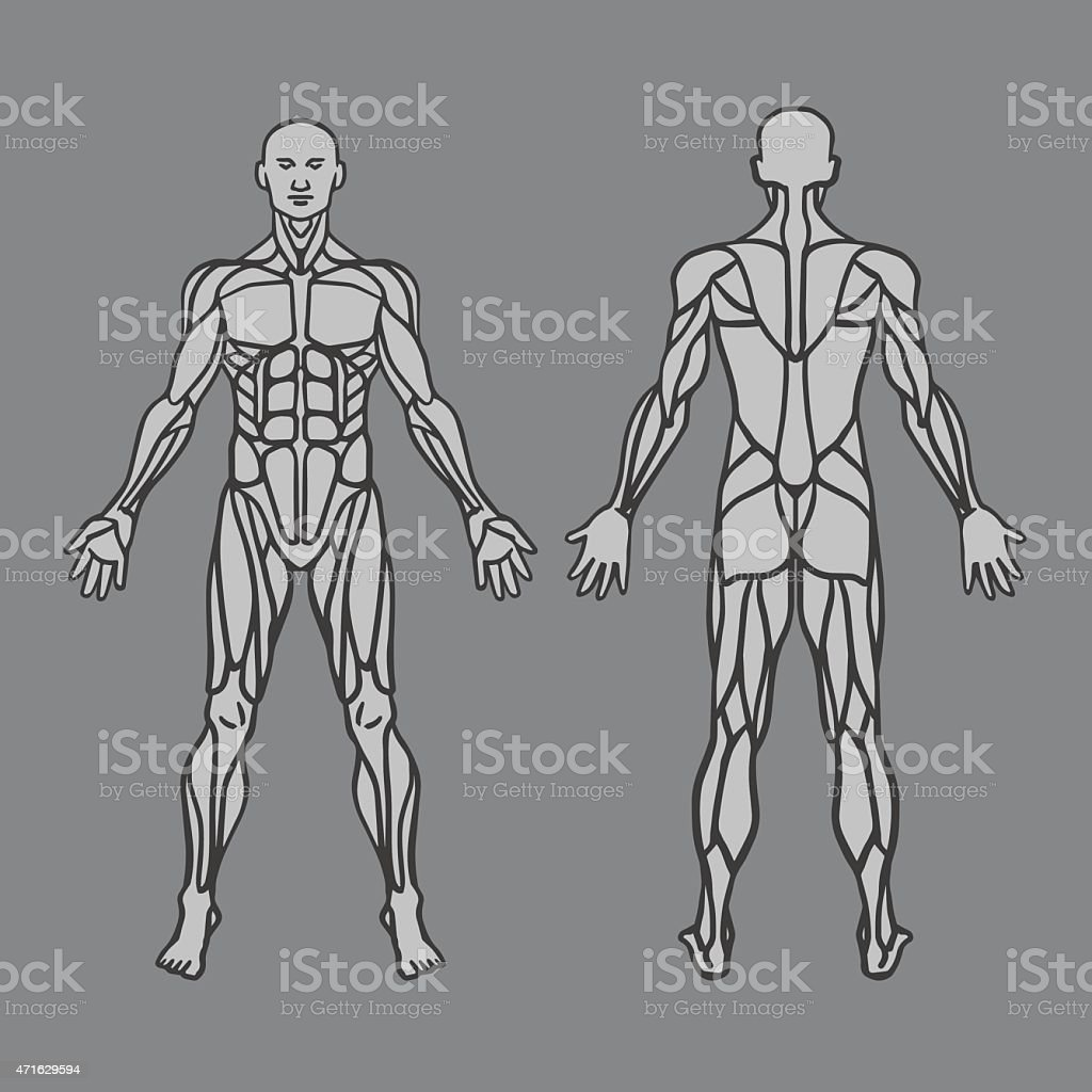 diagram of human muscular system stock vector art 471629594 | istock, Muscles