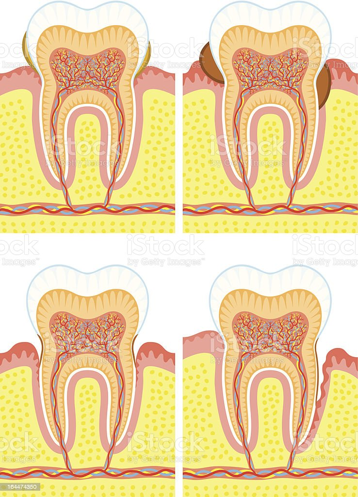Diagram of internal tooth structure royalty-free stock vector art