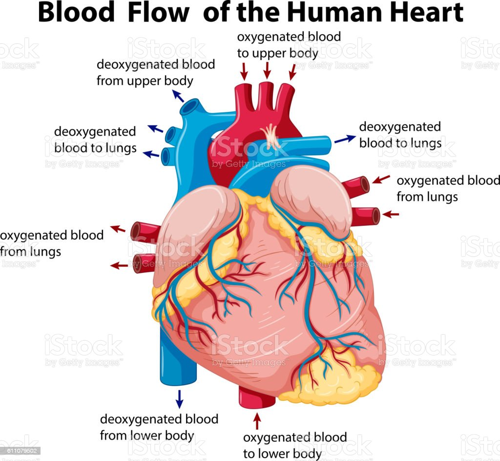diagram showing blood flow in human heart stock vector art, Muscles