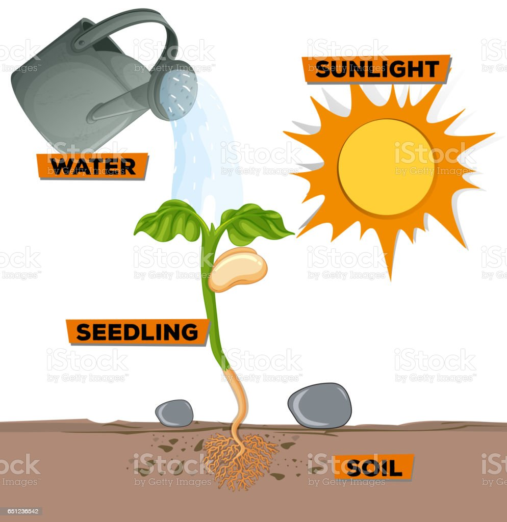 Diagram showing plant growing from water and sunlight vector art illustration