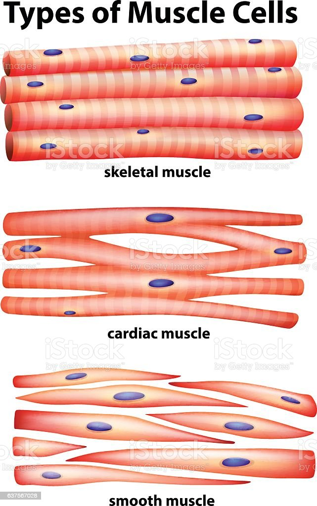 diagram showing types of muscle cells stock vector art 637567028, Human Body