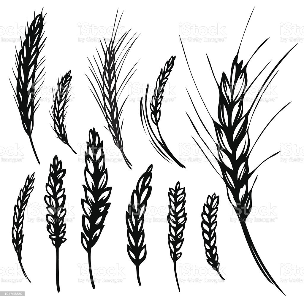 Different cartoons of rye and wheat over white background vector art illustration
