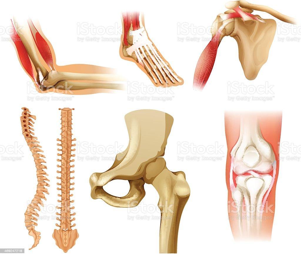 Different human bones vector art illustration