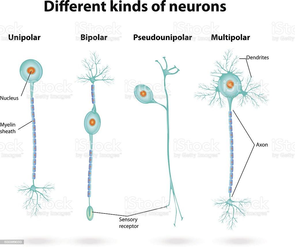 Different kinds of neurons vector art illustration