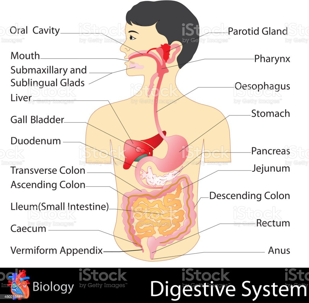 Digestive System vector art illustration