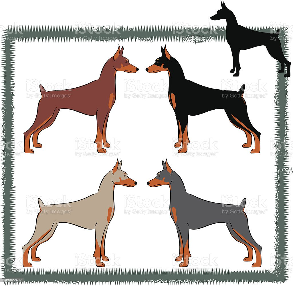 Doberman Pinscher US/Canadian  With Cropped Ears royalty-free stock vector art