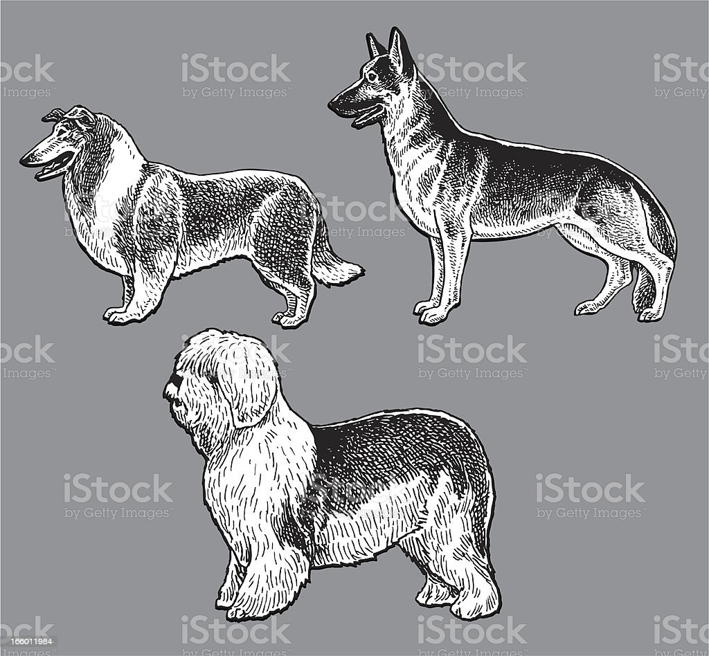 Dogs - Herding, Old English Sheep Dog, Collie, German Shepherd vector art illustration