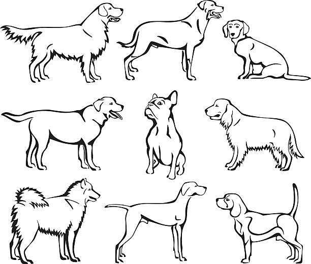 Line Drawing Golden Retriever : Golden retriever clip art vector images illustrations