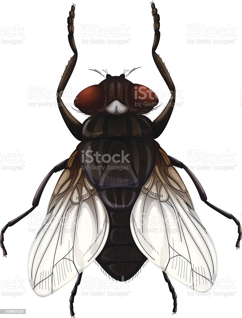 Musca domestica royalty-free stock vector art
