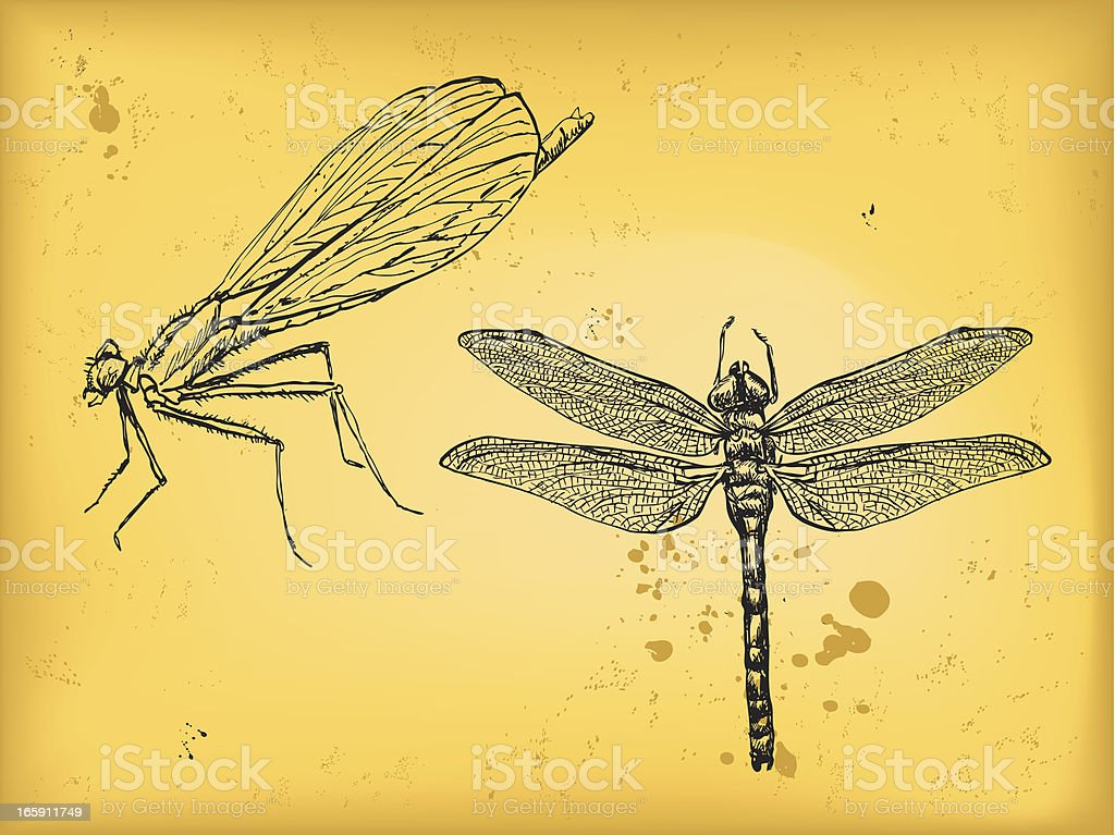 Image result for southern hawker illustration