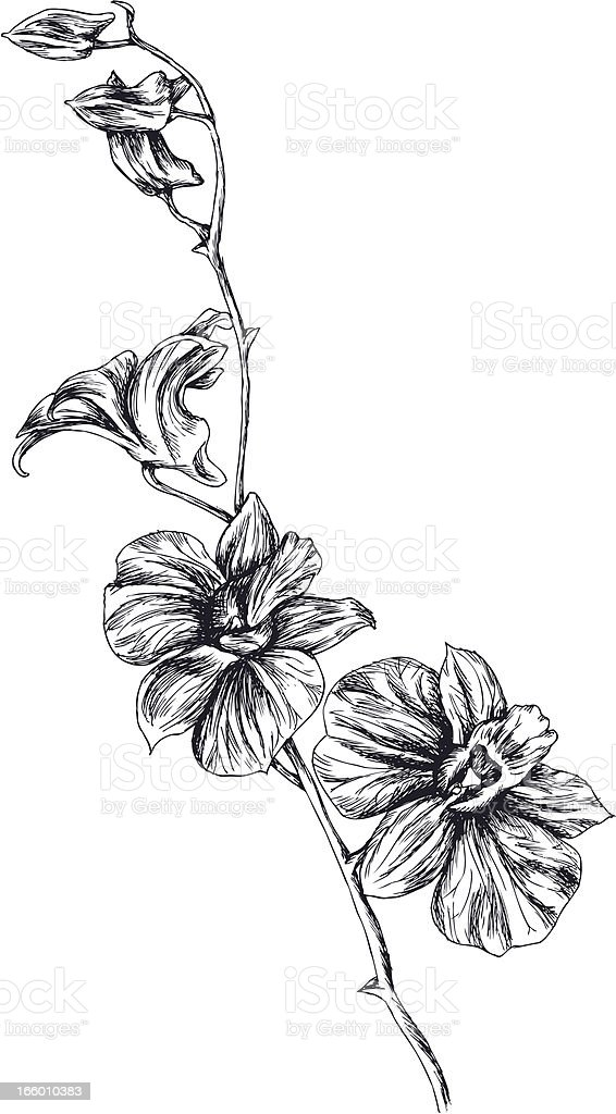 Drawing of orchid vector art illustration