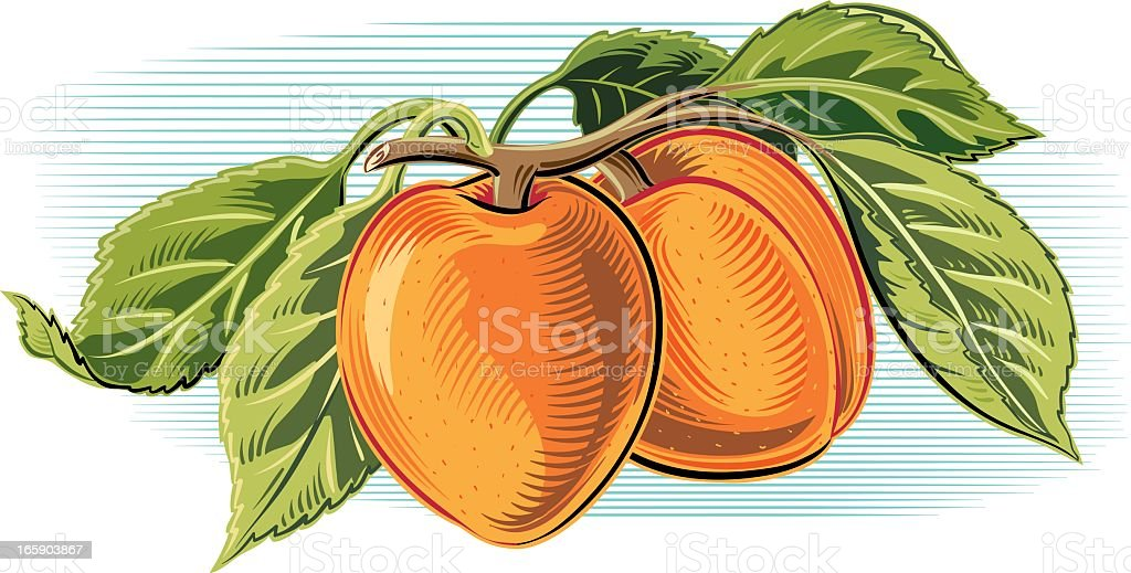 Drawing of two orange apricots and green leaves vector art illustration