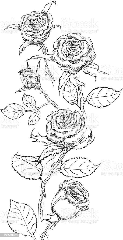 Drawing roses vector art illustration