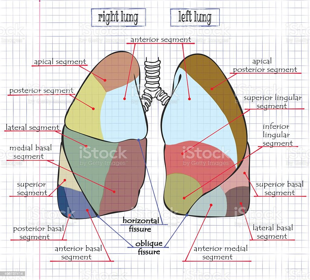 drawing section of human lung vector art illustration