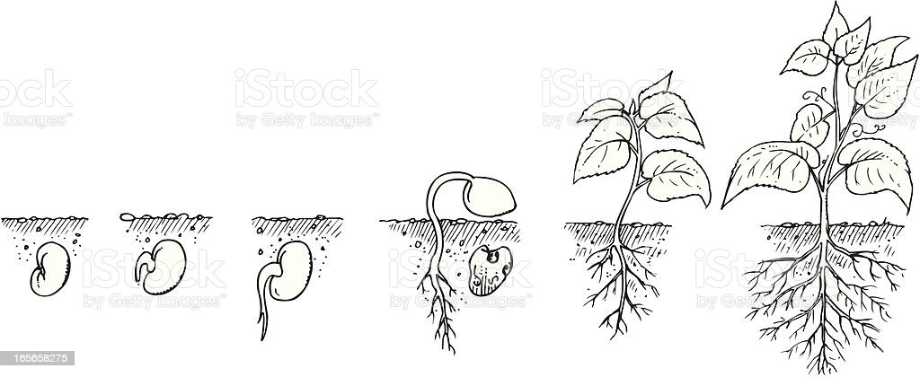 Drawing showing the growth of a plant from seed to mature royalty-free stock vector art