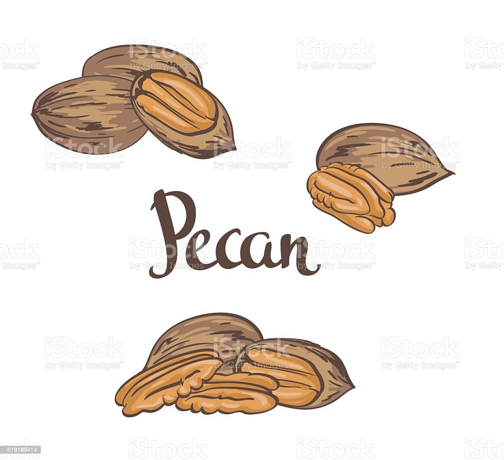 Dried Pecan nuts isolated on a white background. Vector illustration. vector art illustration
