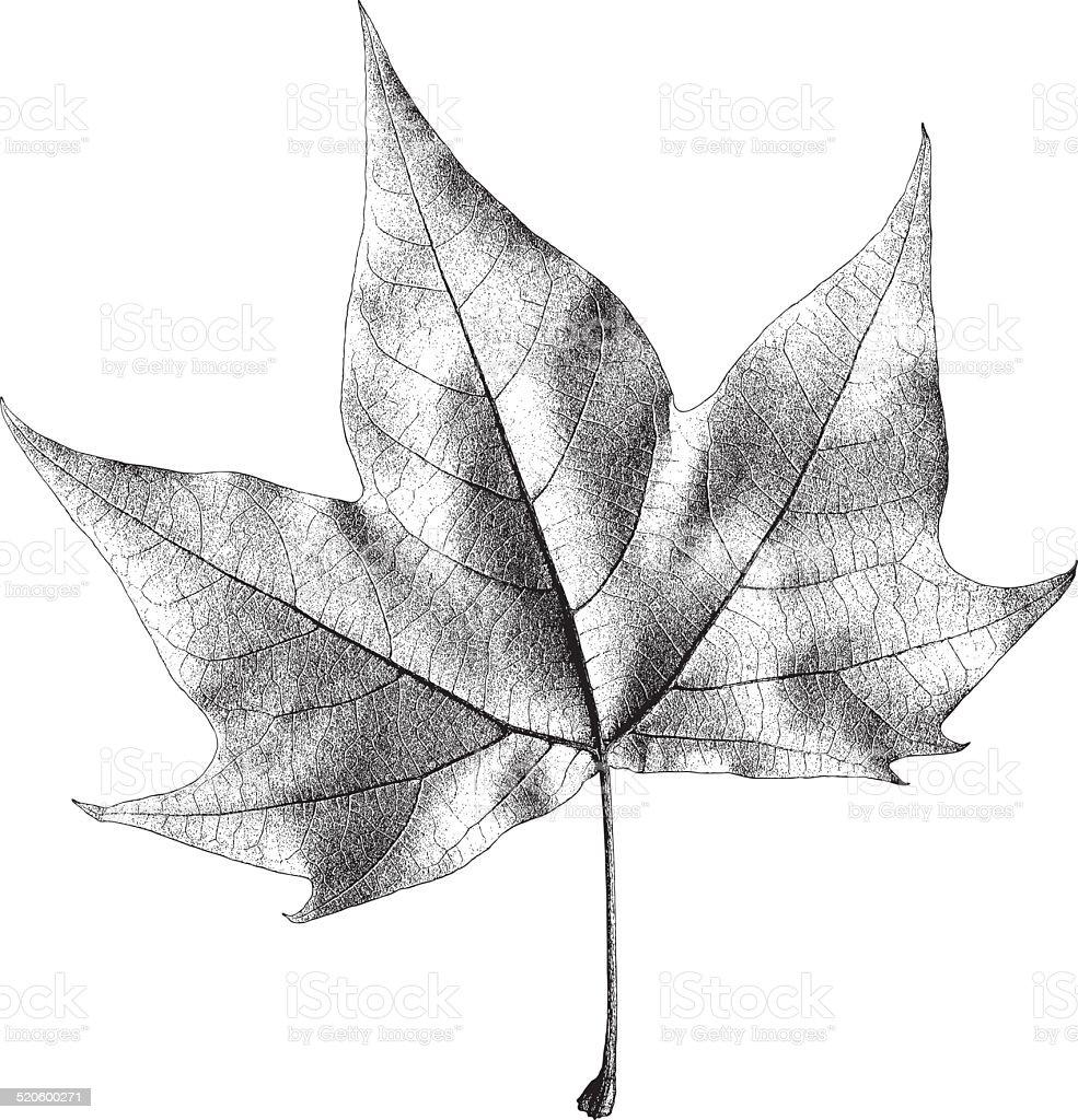 Dry Maple Leaf – Vector Illustration vector art illustration