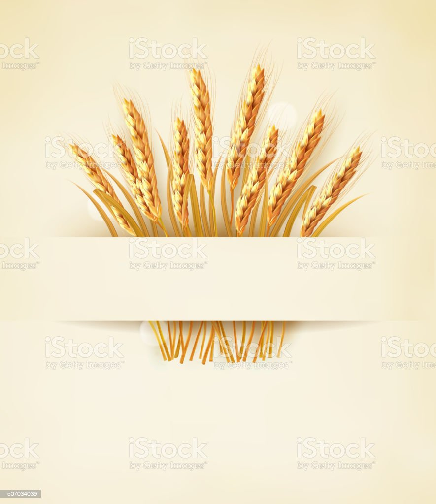 Ears of wheat on old paper background. vector art illustration