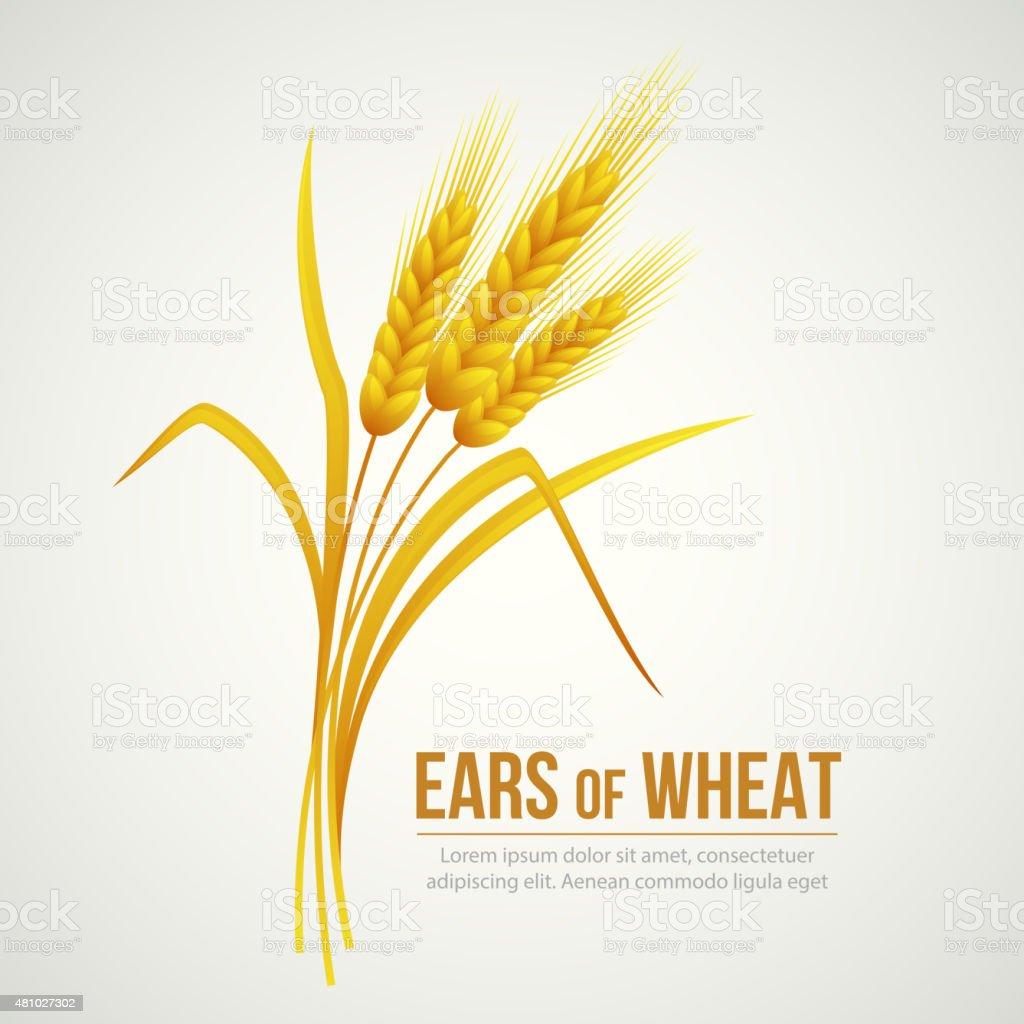 Ears of Wheat. Vector illustration vector art illustration